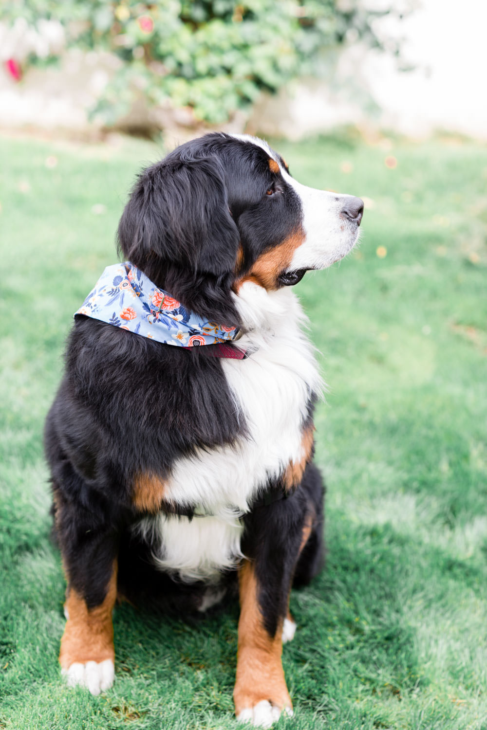 Dog wearing blue bandana for wedding, La Quinta Resort Wedding in Palm Springs, Cavin Elizabeth Photography
