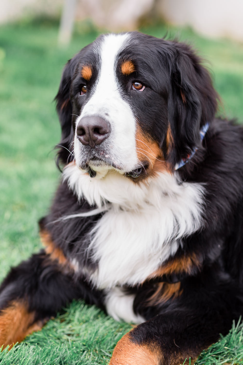 St Bernard at a wedding, La Quinta Resort Wedding in Palm Springs, Cavin Elizabeth Photography
