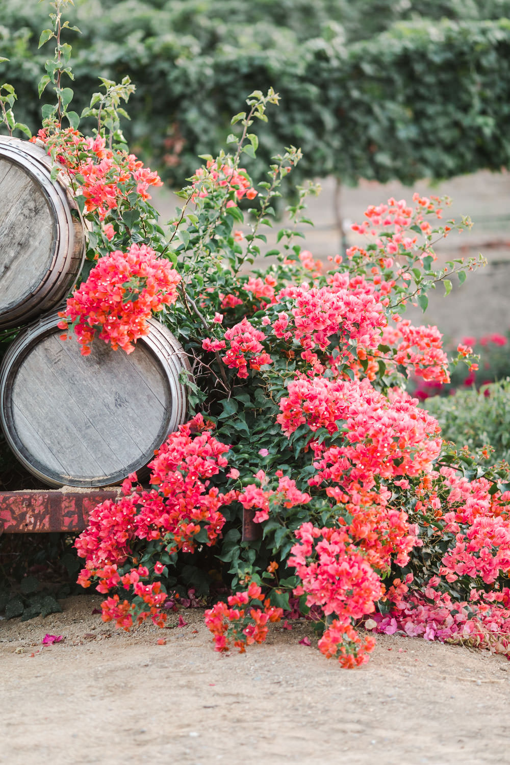 Pink bougainvillea and barrels for a Temecula winery wedding, Cavin Elizabeth Photography
