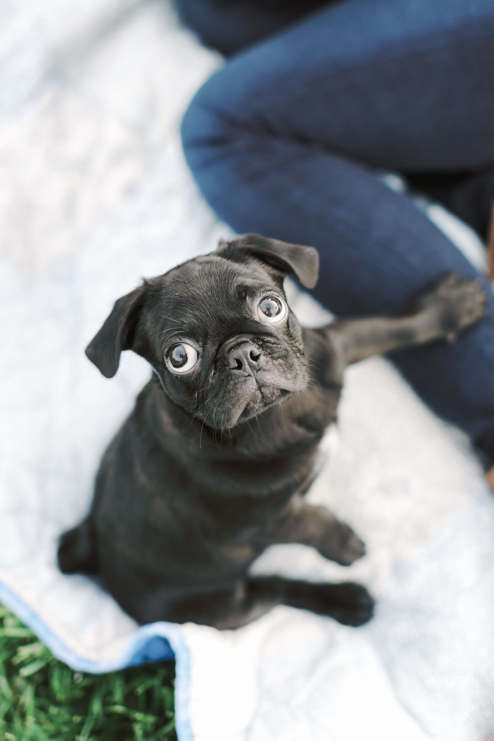 San Diego At-Home Anniversary Photos with a black pug Puppy, Cavin Elizabeth Photography