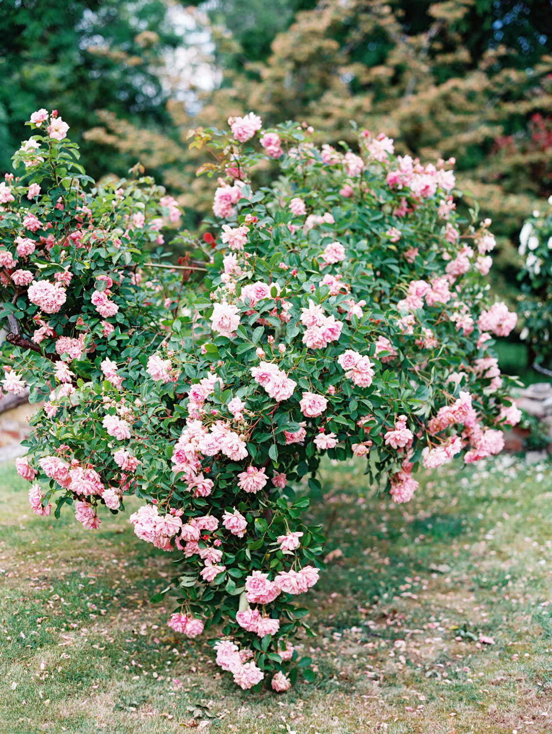 Pink rose bush, Flutter Magazine Retreat in the Cotswolds at Norton Hall in Mickleton, England. Photo by Cavin Elizabeth Photography on film