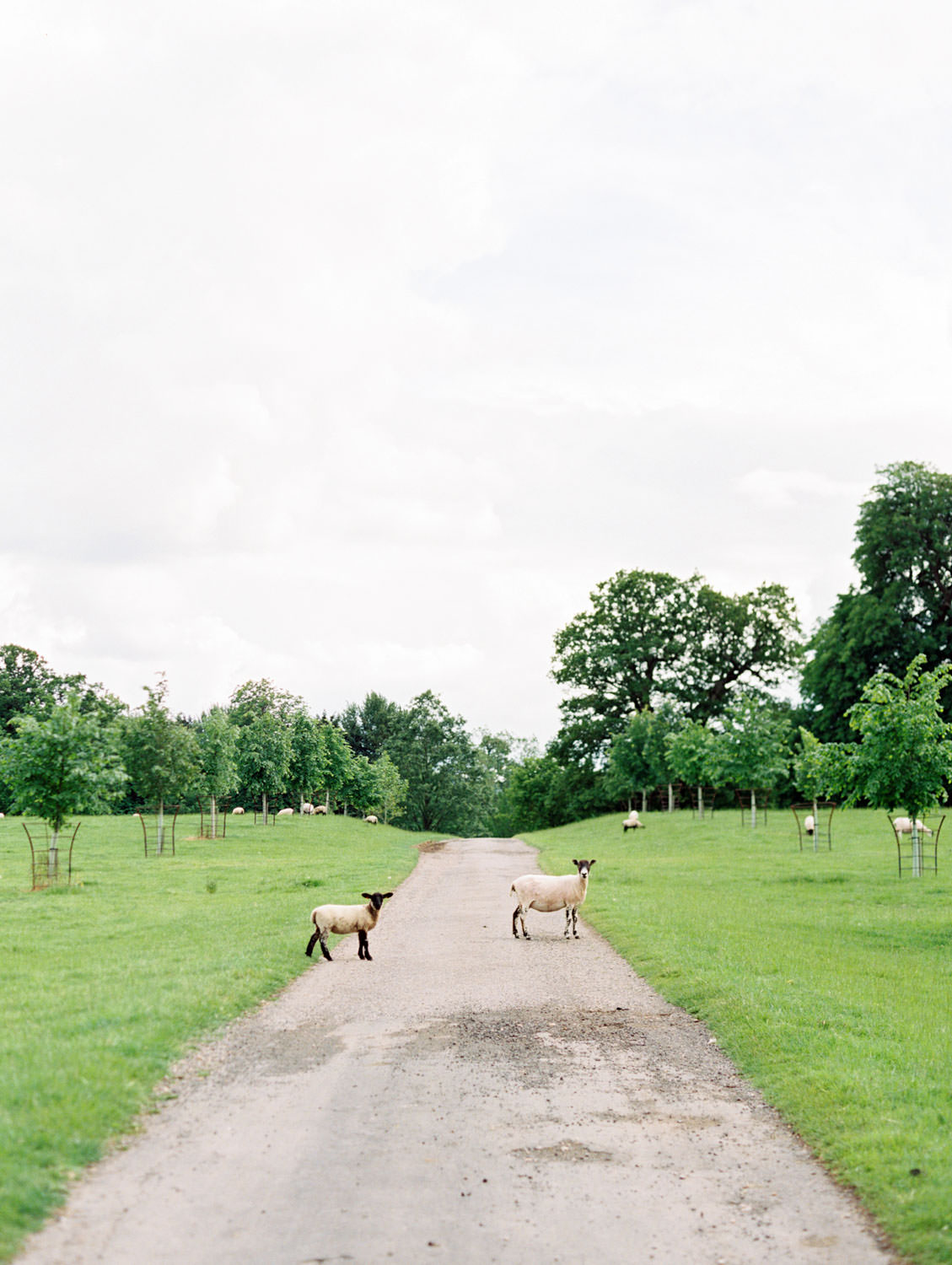Sheep crossing a road. Flutter Magazine Retreat in the Cotswolds at Norton Hall in Mickleton, England. Photo by Cavin Elizabeth Photography on film