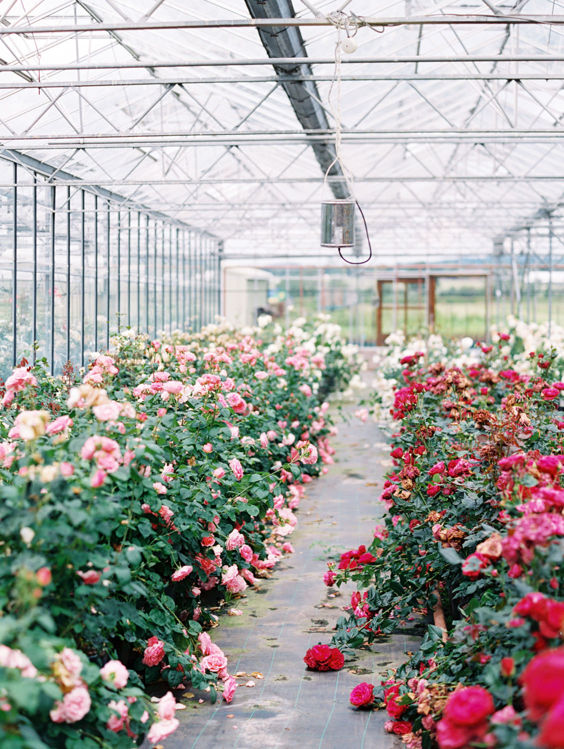 David Austin Roses greenhouse on the Flutter Magazine Retreat in the Cotswolds. Film by Cavin Elizabeth Photography