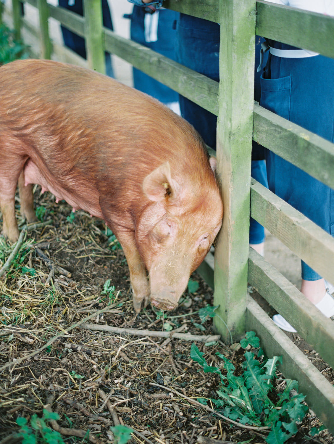 Daylesford Farm pig. Flutter Magazine Retreat in the Cotswolds, England. Photo by Cavin Elizabeth Photography on film