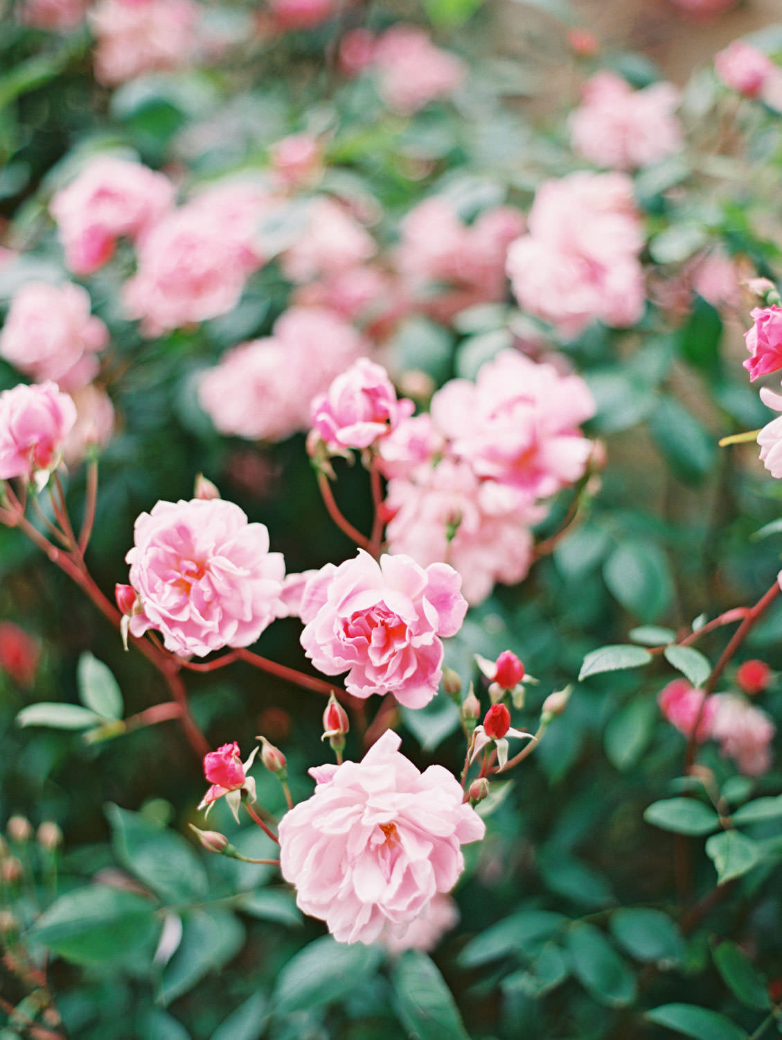 Stow-on-the-Wold pink rose bush in the Cotswolds. Flutter Magazine Retreat in the Cotswolds, England. Photo by Cavin Elizabeth Photography on film