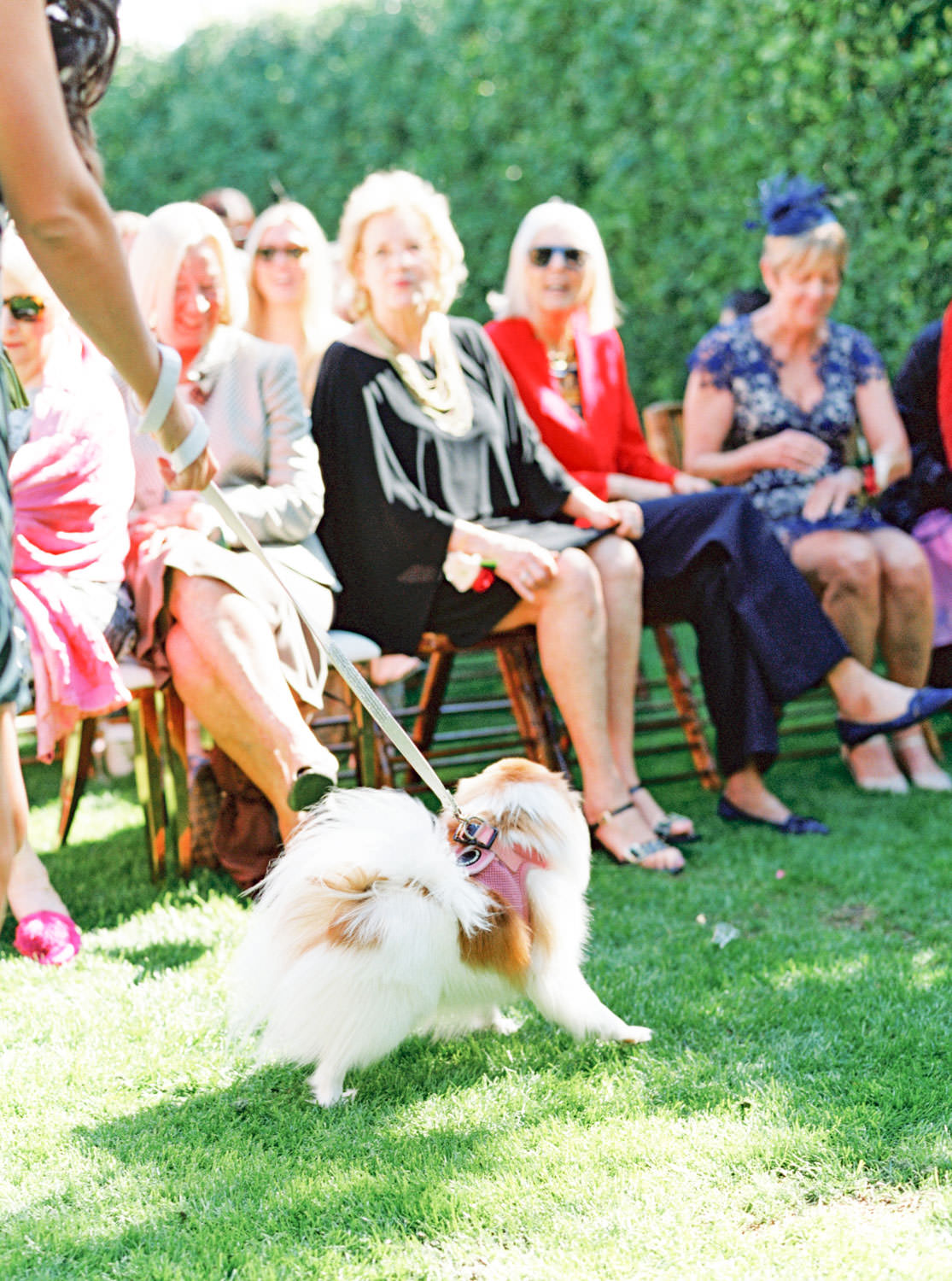Pomeranian ring bearer walking down the aisle. Riviera Palm Springs Wedding by Cavin Elizabeth Photography