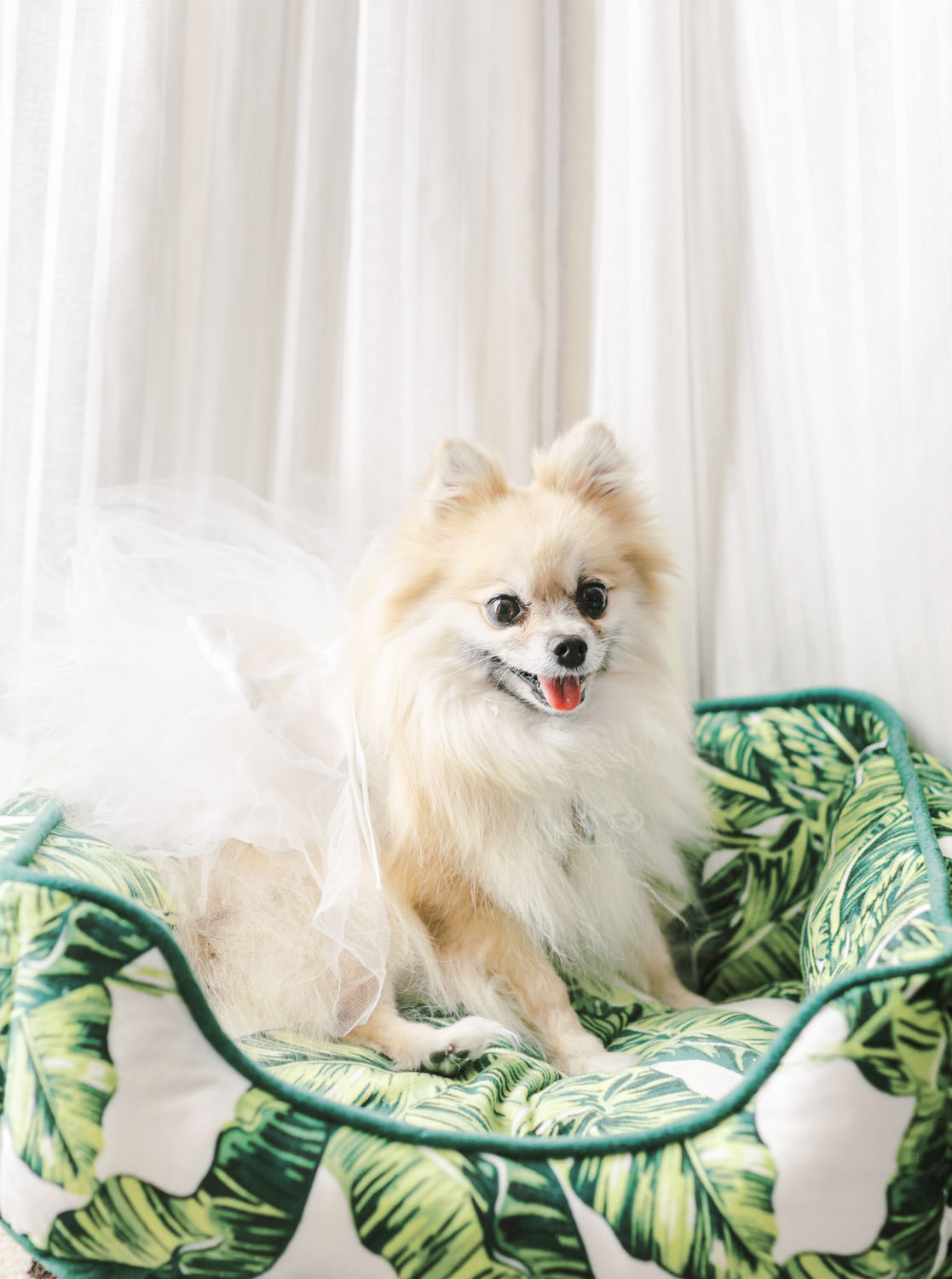 Pomeranian wearing a wedding tutu sitting on a palm leaf tropical bed. Cavin Elizabeth Photography
