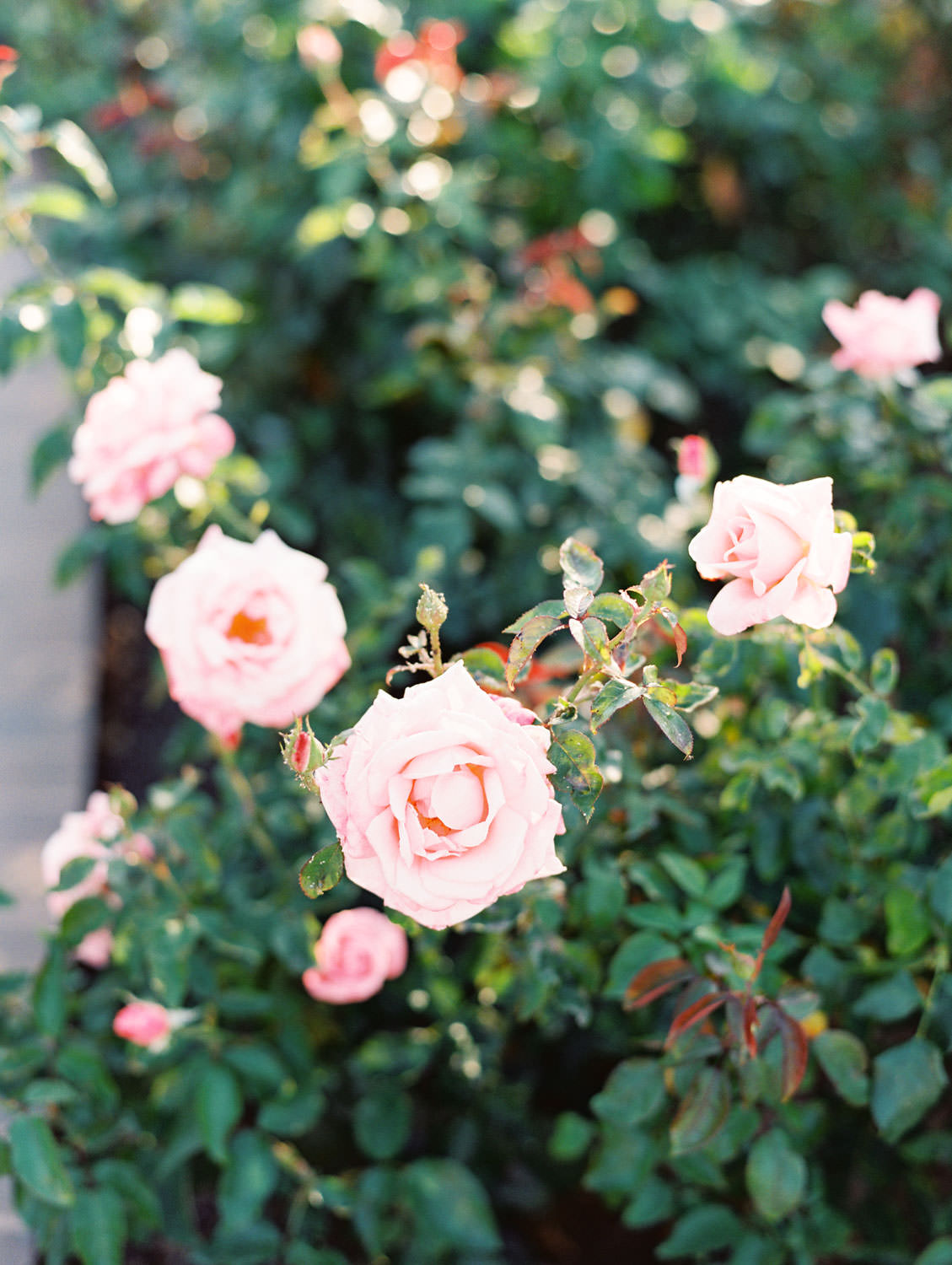 Pink roses in full bloom. Balboa Park San Diego Anniversary Photos by Cavin Elizabeth Photography