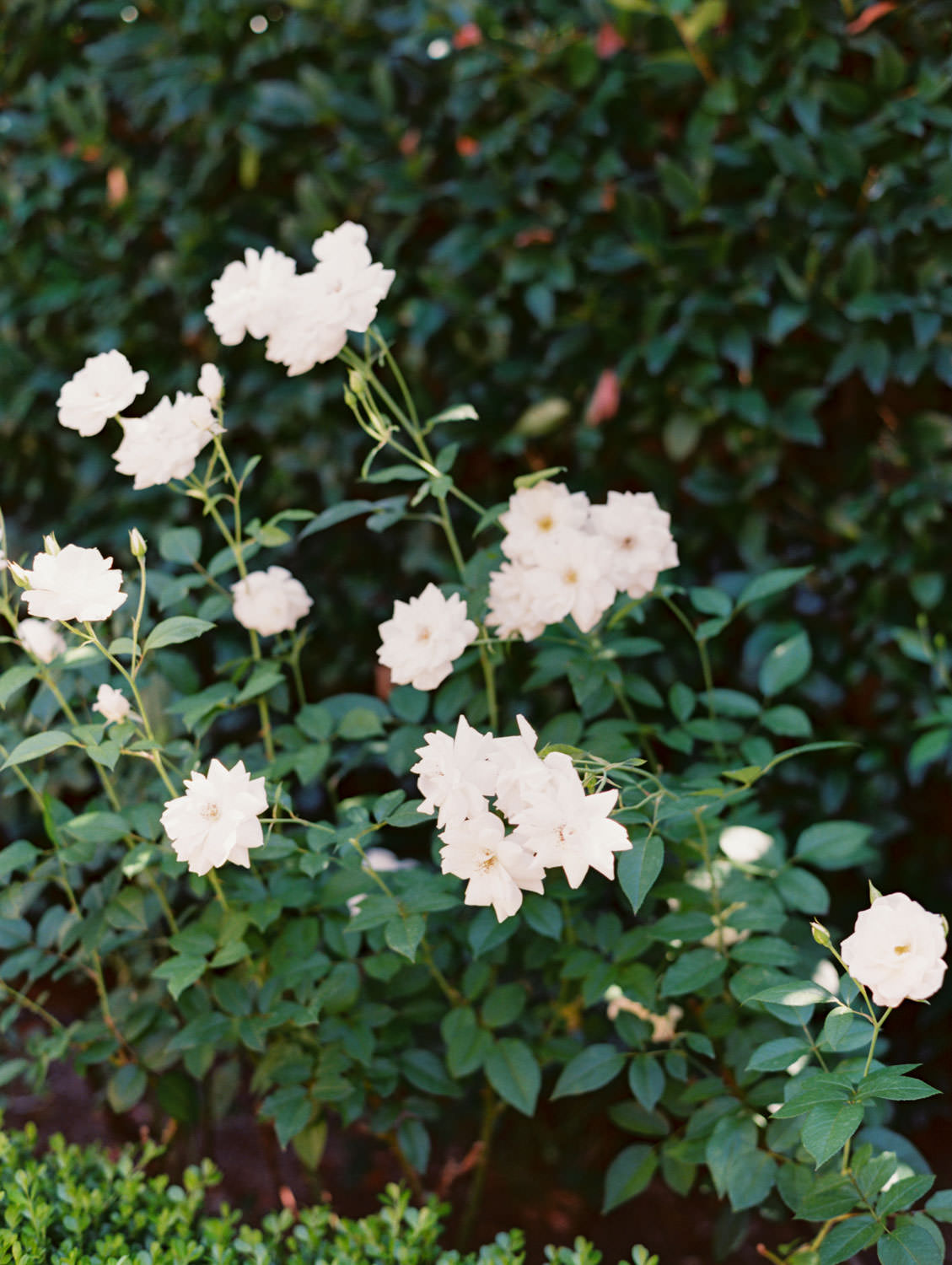 White garden roses in front of a greenery hedge. Wedding at Rancho Bernardo Inn. Film photo by Cavin Elizabeth Photography