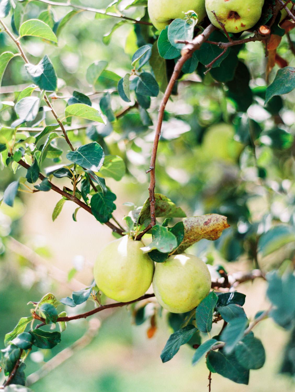 Fruit tree. Full Belly Farm on Martha Stewart Weddings by film photographer Cavin Elizabeth Photography