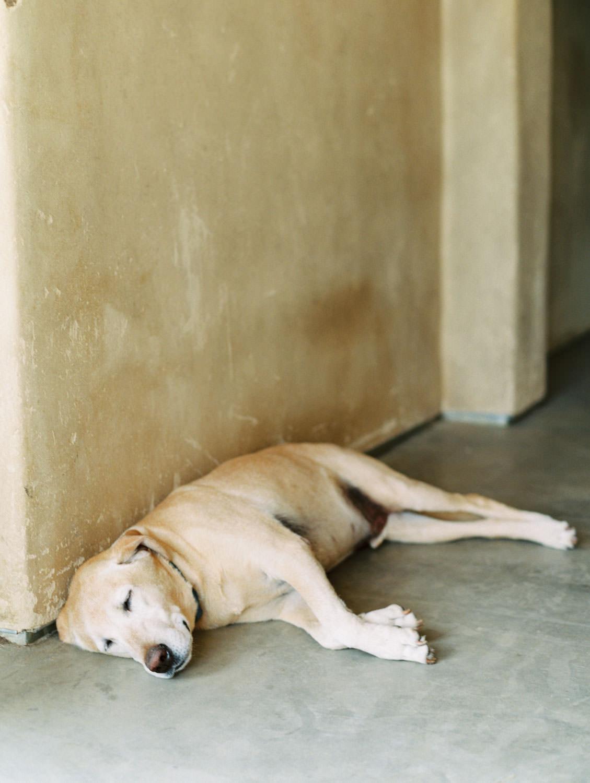 Golden labrador farm dog sleeping. Martha Stewart Weddings by film photographer Cavin Elizabeth Photography