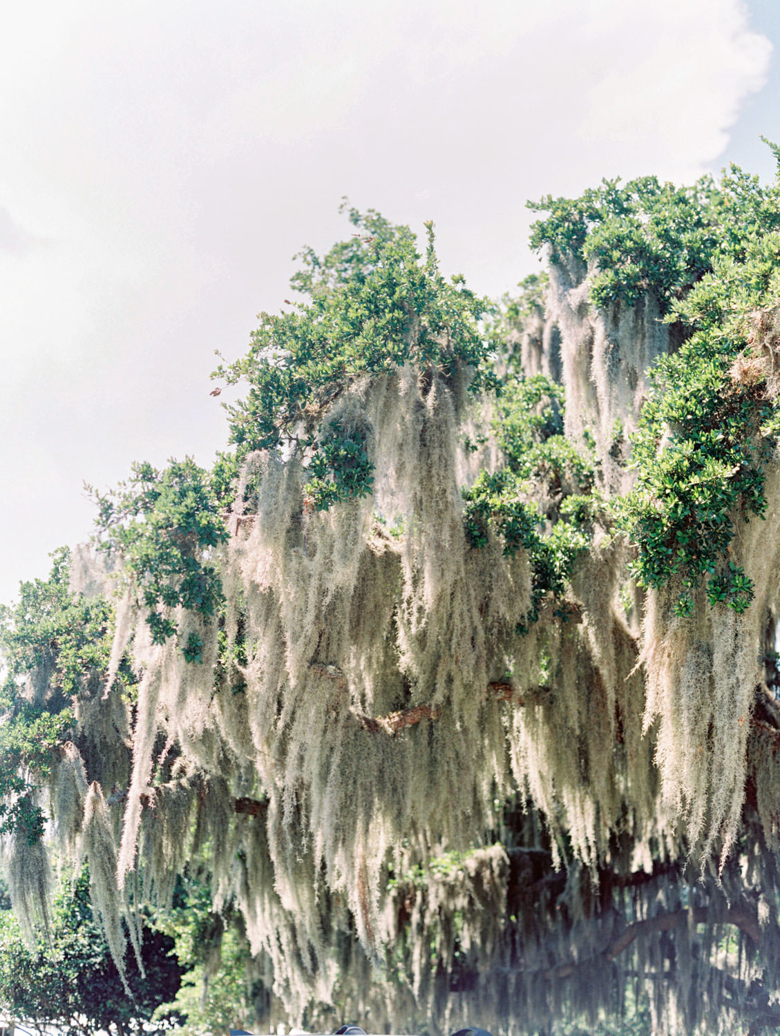 Spanish moss hanging from trees. Wedding film photography at Jekyll Island Club Resort by Cavin Elizabeth Photography