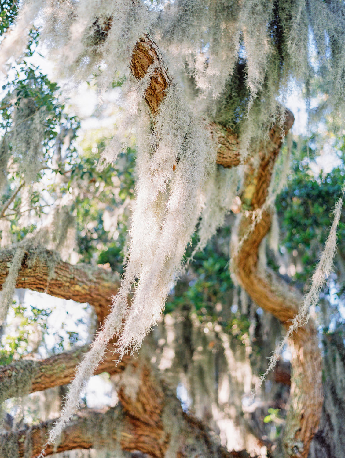Tree covered in spanish moss. Film photography at Jekyll Island Club Resort Wedding by Cavin Elizabeth Photography